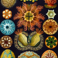 Haeckel Sea Squirts Wooden Jigsaw Puzzle  - Artifact